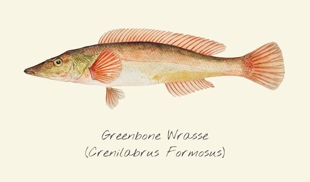 Zeichnung eines greenbone wrasse fisches