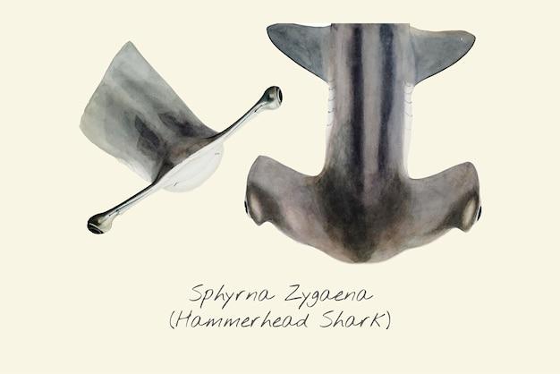 Zeichnung eines hammerhai