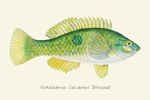 Zeichnung eines lippfischs