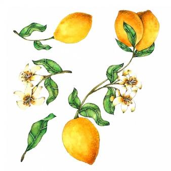 Zitrone handgemalt in der aquarellansammlung