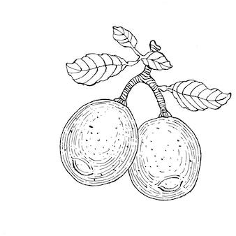 Zitrone isoliert. organische ätherische ölgravurskizze. schönheit und spa, kosmetischer inhaltsstoff.