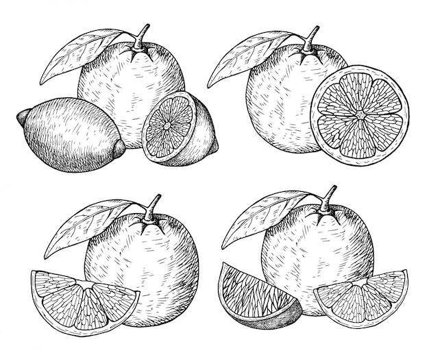 Zitrusfrucht hand gezeichnet
