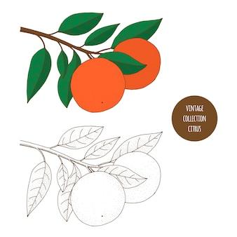 Zitrusfrüchte. orange. gezeichneter satz des vektors hand kosmetische anlagen lokalisiert auf weißem hintergrund