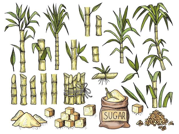 Zuckerrohr. getränkegravur lebensmittel landwirtschaft zucker zuckerproduktionsvektor farbige hand gezeichnete illustrationen. zuckerrohr-öko, wachsende botanische stielzeichnung