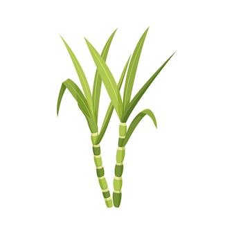 Zuckerrohrstiel mit blättern auf weißem hintergrund. vektor-illustration.
