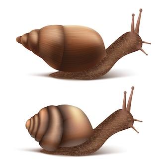 Zwei kriechende burgundische oder römische schnecken. gastropoden lokalisiert auf weißem hintergrund.