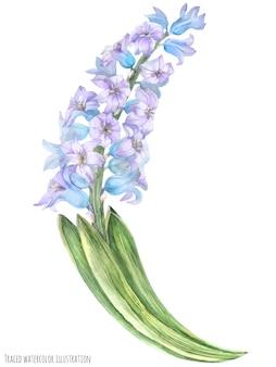 Zweig der blauen violetten hyazinthe
