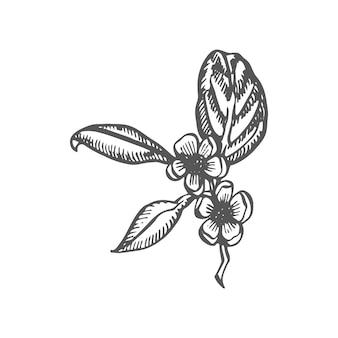 Zweig und teeblätter grüner tee vektor handgezeichnete illustration
