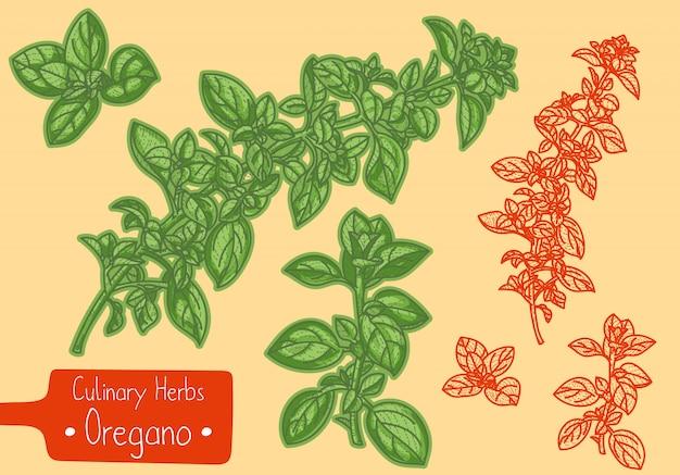 Zweige des küchenkrauts oregano