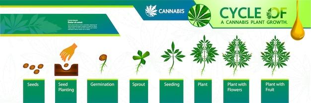 Zyklus eines cannabispflanzenwachstums.