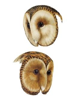 1. coruja de celeiro mascarada (strix personata)