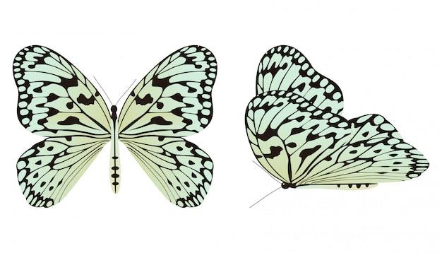 A borboleta de papel de arroz ou ilustração em vetor ninfa grande árvore