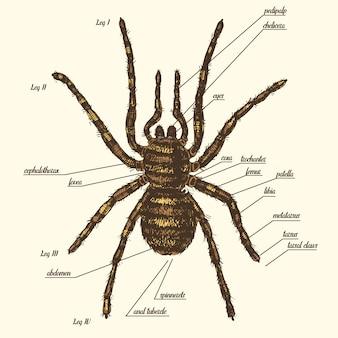 A ilustração de uma anatomia da aranha inclui todo o nome de partes de animais. espécies de birdeater na mão desenhada ou gravada estilo. aracnologia