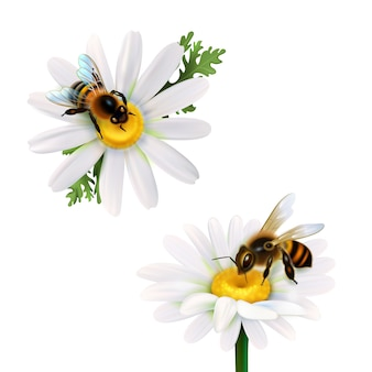 Abelhas sentado em margarida flores