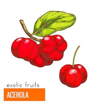Acerola. ilustração vetorial de cor