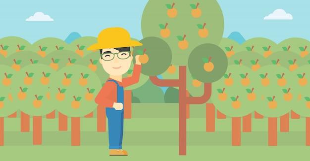 Agricultor, colecionar, laranjas