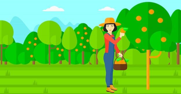 Agricultor coletando laranjas.