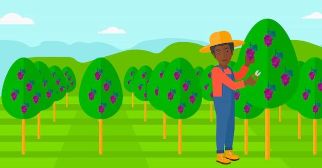 Agricultor coletando uvas.