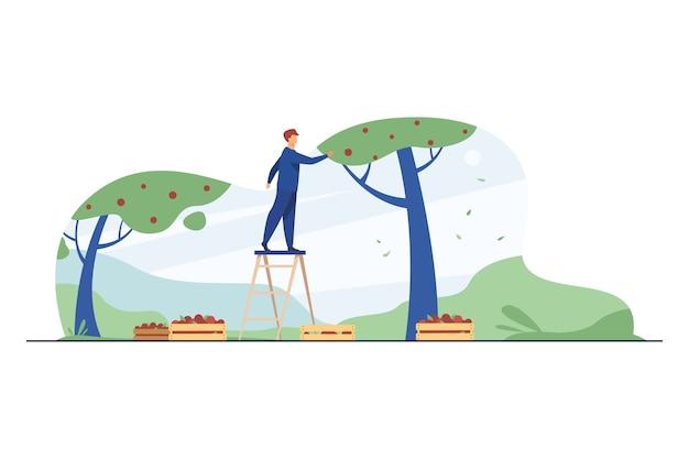 Agricultor em pé na escada e coletando maçãs. frutas, estação, ilustração em vetor plana árvore. agricultura e jardinagem