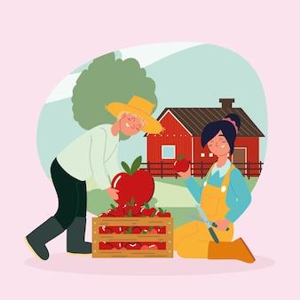 Agricultores colhendo maçãs