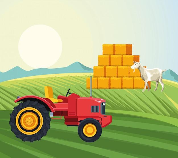 Agricultura cabra andando no campo trator e fardos de feno