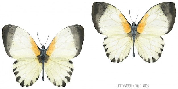 Aguarela appias borboletas