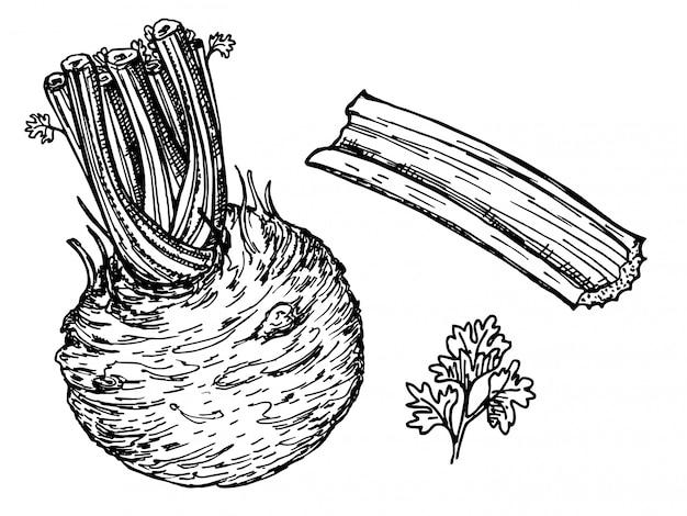 Aipo com talos, verduras e raiz. esboço de tinta no fundo branco. ilustração. raiz redonda de aipo, esboços monocromáticos de alimentos saudáveis. vegetal orgânico saudável, cheio de vitaminas
