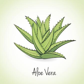 Aloe vera ervas e especiarias.