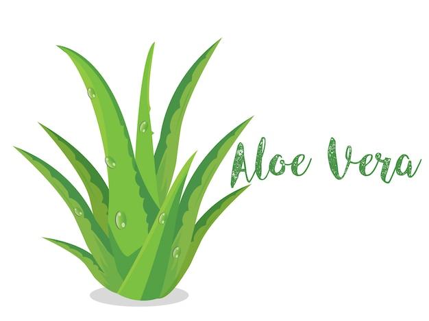 Aloe vera plant vector em branco bsckground