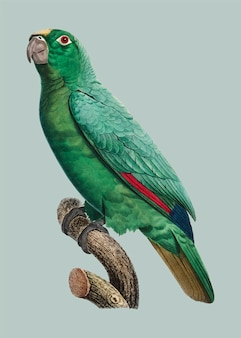 Amazona-de-coroa-amarela