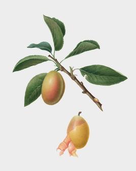 Ameixa armênia da ilustração de pomona italiana
