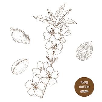 Amêndoas. ilustração em vetor botânica vintage mão desenhada isolada. estilo de desenho. cozinha ervas e especiarias.