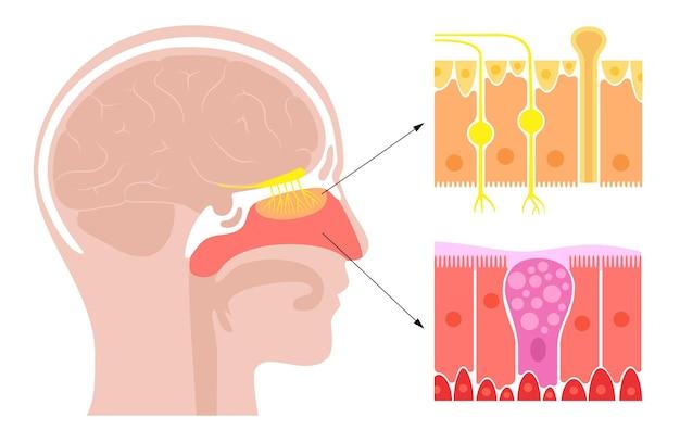 Anatomia da cavidade nasal