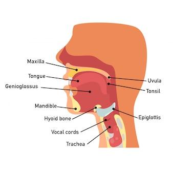Anatomia da garganta