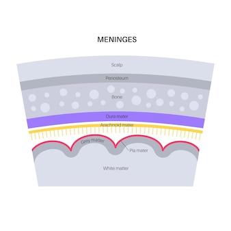 Anatomia das meninges. proteção do sistema nervoso central. ilustração vetorial de cabeça humana