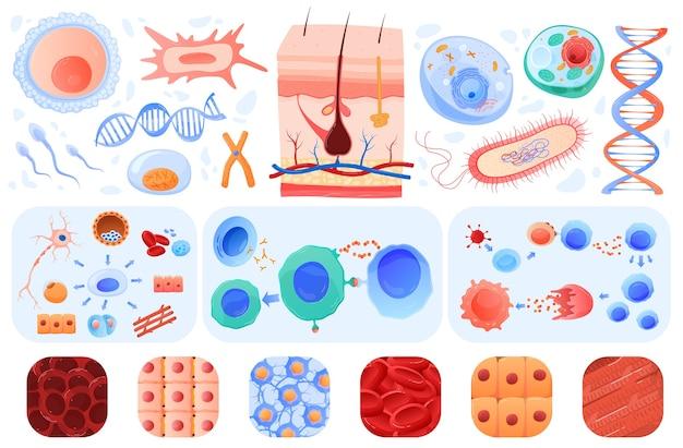 Anatomia de células humanas, pele, bacilo de células sanguíneas, conjunto de ilustrações.