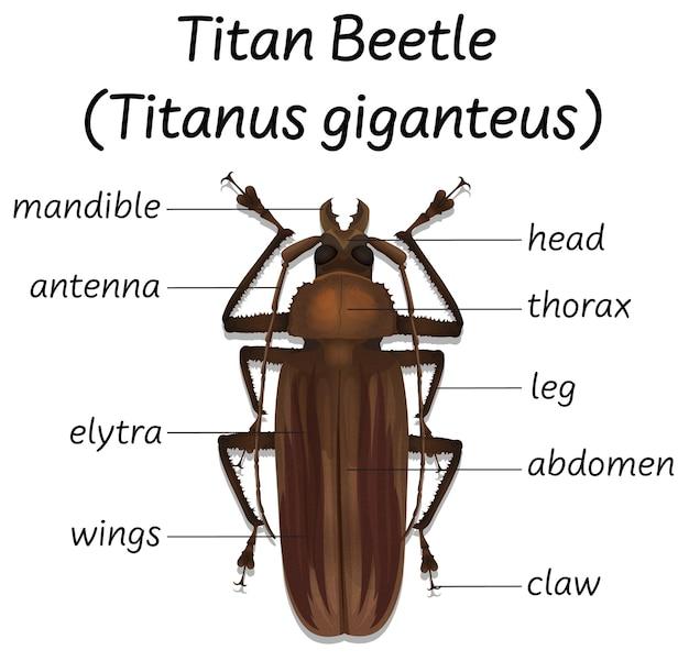 Anatomia do besouro titã da ciência