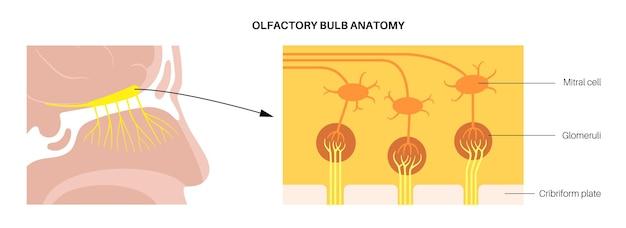 Anatomia do bulbo olfatório