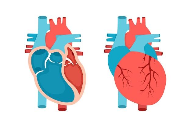 Anatomia do coração com seção transversal e visão não cortada conceito de cardiologia cardíaca anatomicamente correto