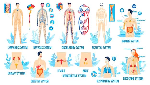 Anatomia do corpo humano, conjunto de ilustração vetorial de sistemas de órgãos, cartoon plana interna respiratória reprodutiva linfática endócrina