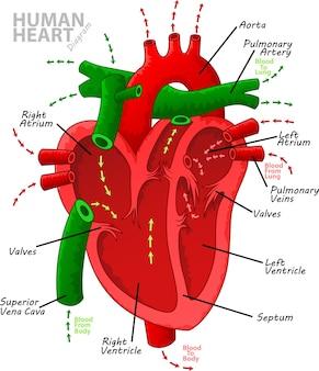 Anatomia do diagrama do coração humano