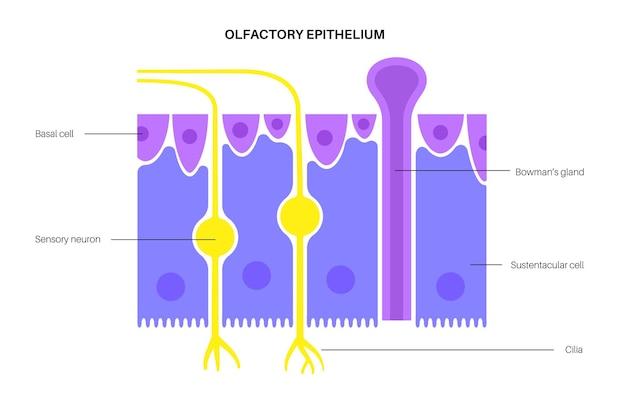 Anatomia do epitélio olfatório