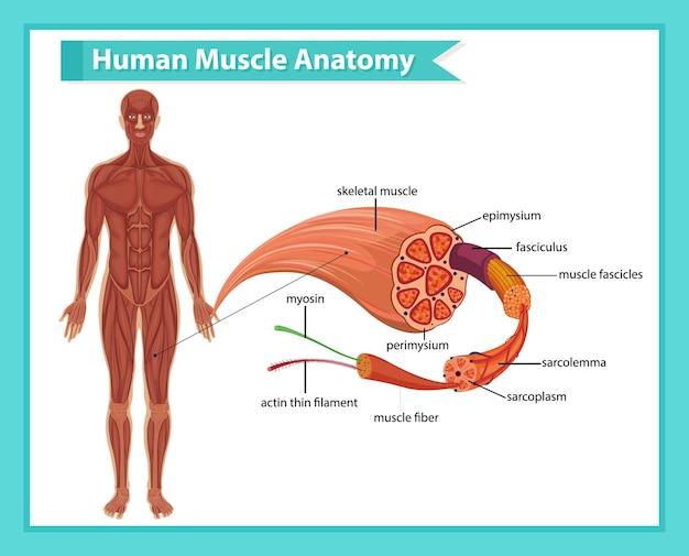 Anatomia do músculo humano com anatomia do corpo