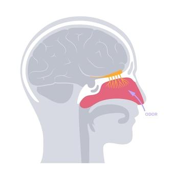 Anatomia do nervo olfatório