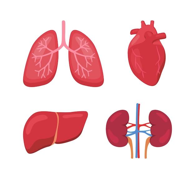 Anatomia do órgão humano pulmão coração fígado rim