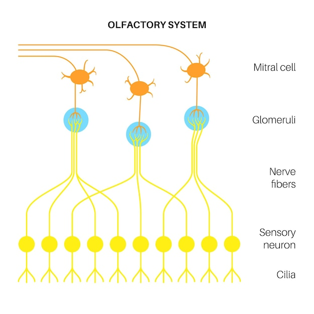 Anatomia do sistema olfatório
