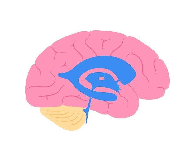 Anatomia do sistema ventricular. ventrículos cerebrais, líquido cefalorraquidiano no vetor do cérebro