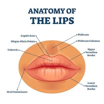 Anatomia dos lábios com descrição detalhada das peças rotuladas. esquema educacional da estrutura facial da boca com explicação de termos fisiológicos. diagrama de exemplo de close up para estudo de medicina.
