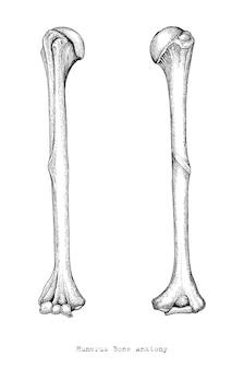 Anatomia dos ossos do braço humano superior mão desenhando estilo vintage, úmero humano