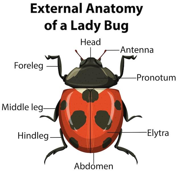 Anatomia externa de uma lady bug em fundo branco